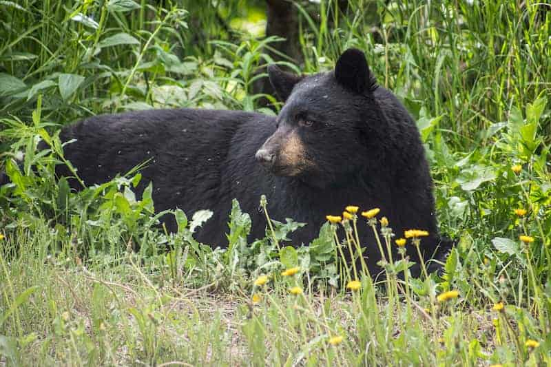 how to keep black bears away from your campsite