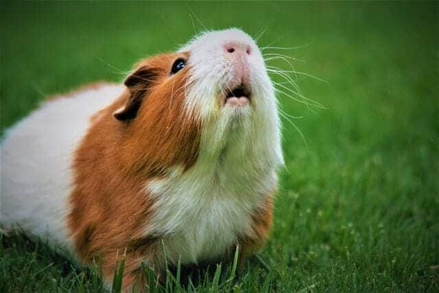 hamster opening his mouth to eat his food